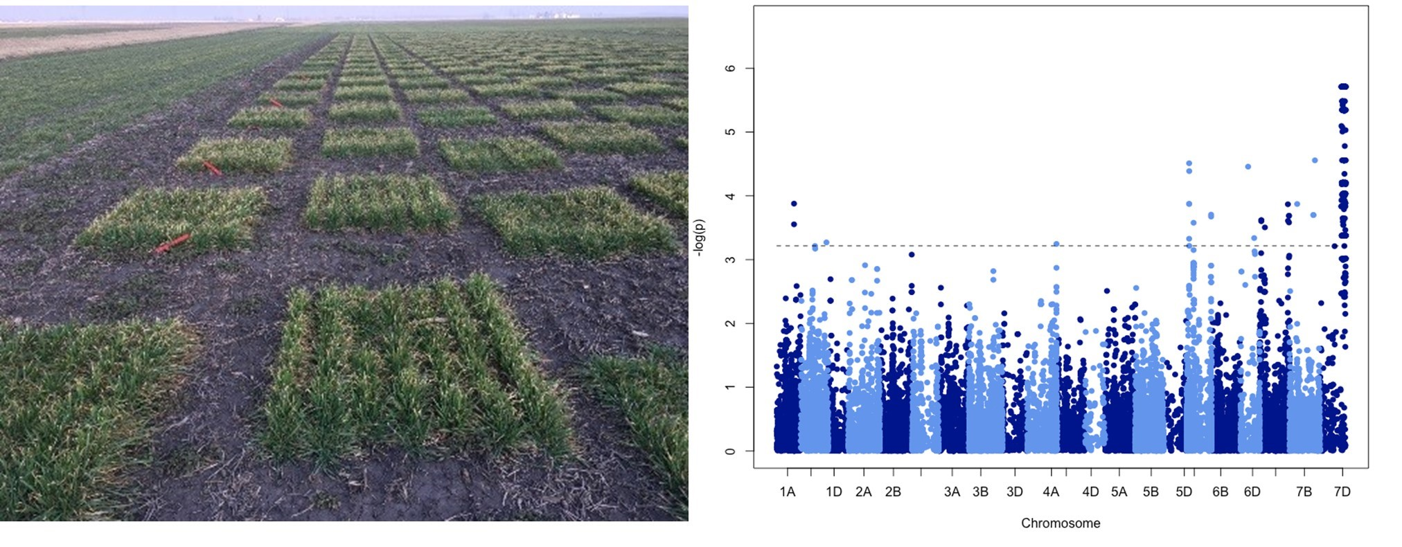 Two layouts of 13 column x 24 rows were planted side-by-side in ACRE to evaluate grain yield and yield components. For grain yield marker trait associations were stably identified in the two replicates individually and in the average dataset.