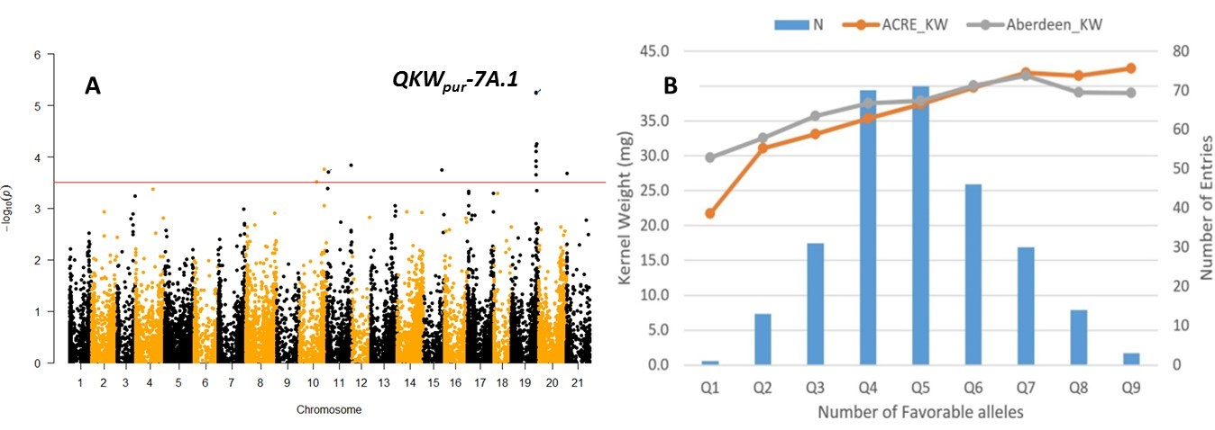 The Manhattan plot (left) showing the significance level of marker trait associations (MTA), and in particular QKWpur-7A.1, for KW in a panel of 279 historical panel (A). The discovery phenotype was from grain samples grown in ACRE, West Lafayette, IN. The validation data was from grain samples independently grown in totally different environment in Aberdeen ID.Nine MTAs were identified (1:9) and the number of favorable alleles at these MTAs were profiled. The graph (right) shows increases in kernel weight from lines that have only one favorable allele (Q1), all the way to lines that have up to nine favorable alleles for kernel weight.