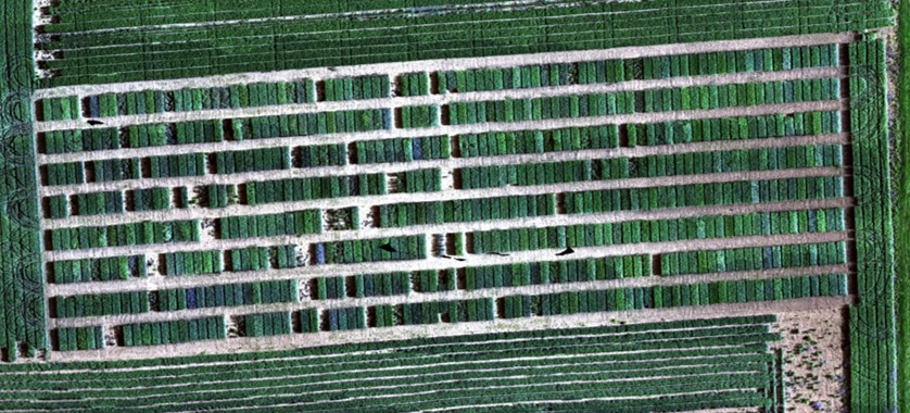Hyperspectral aerial image taken from Purdue panel preliminary trial 2017 by remote sensing team led by Dr. Melba Crawford.