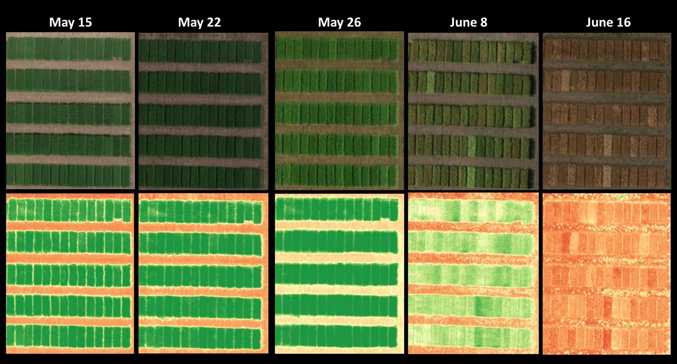 RGB (top) and NDVI (bottom) images of wheat nursery, located within Precision Management Zone of ACRE in 2017 taken over five time points. The images were taken using a RedEdge® MicaSense sensor.