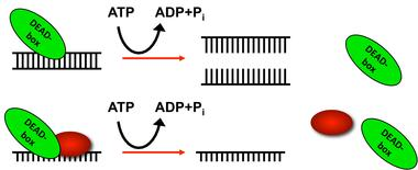 Dead-Box RNA Graphic