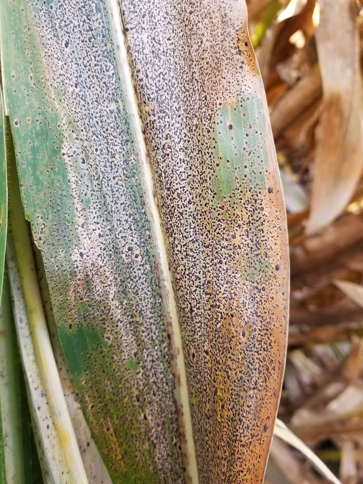 Corn Tar Spot