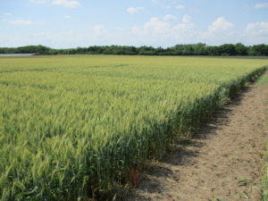 DuPont Fungicide Comparison in Wheat Trial