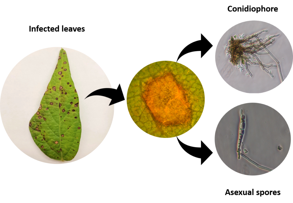 Symptoms of frogeye include circular or angular lesions on leaves that begin as small yellow spots and enlarge to become larger brown spots with a reddish-purple margin.