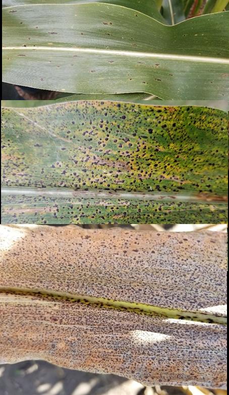 tar spot leaves