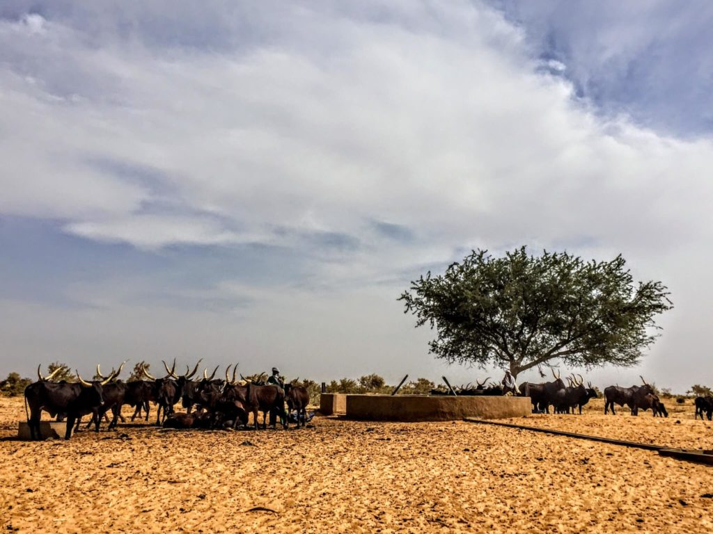 Herd if cow and watering hole in Niger village