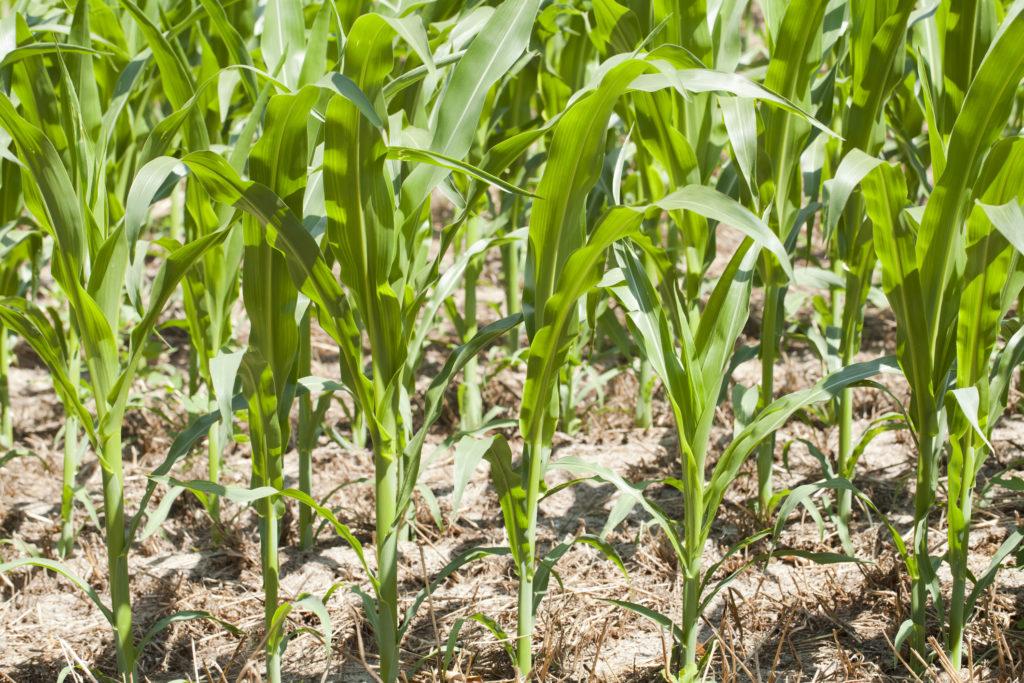 close view of corn field