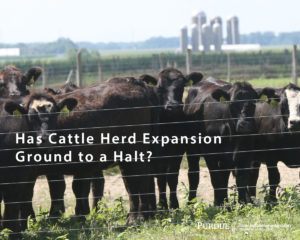 Has Cattle Herd Expansion Ground to a Halt?