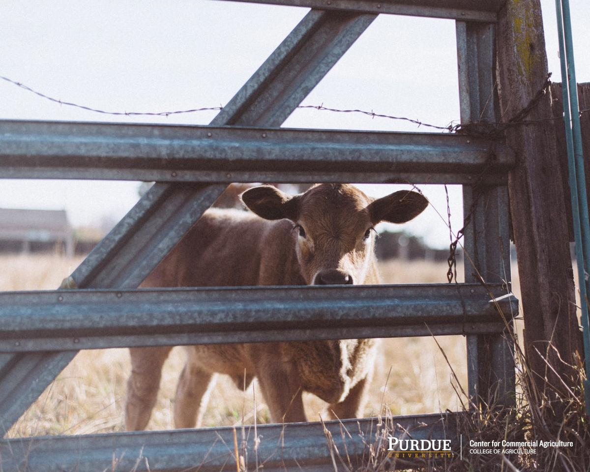 20191028_Mintert_CattleFeedersPlaceMoreHeifersOnFeed_Featured