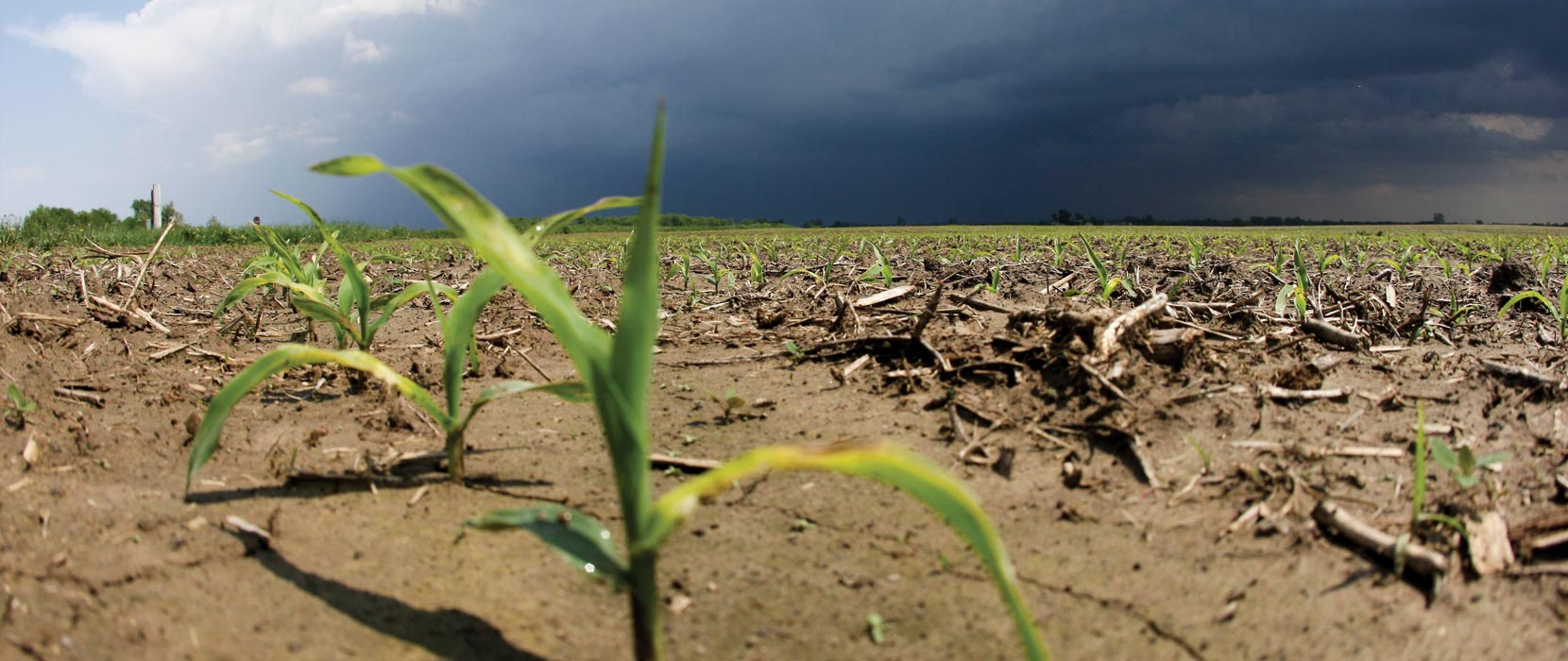 a storm looms in the background of young corn crops in a field