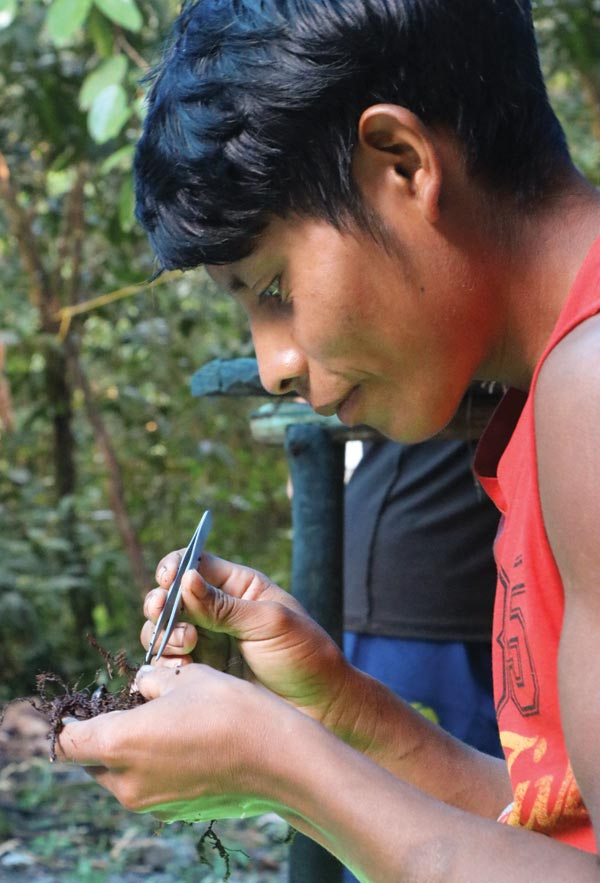 Nathaniel Joseph, a Patamona member of the research team, teases out Paluway root tips that have been colonized by fungi.