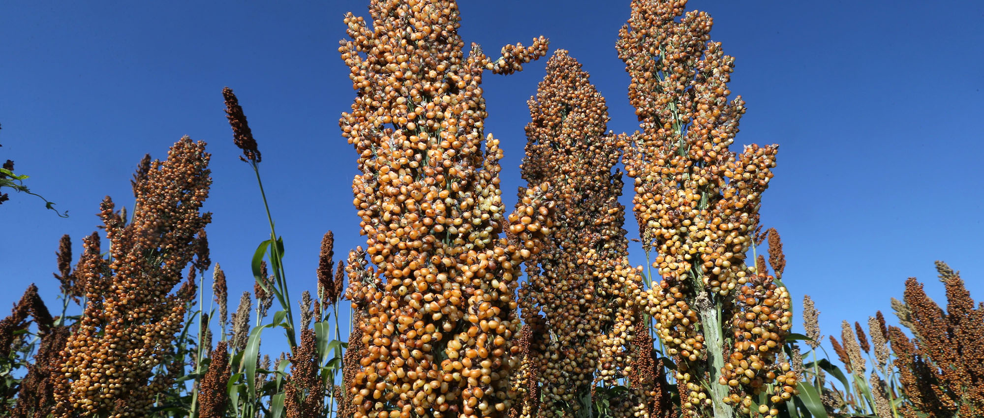 field of sorghum set against blue skies