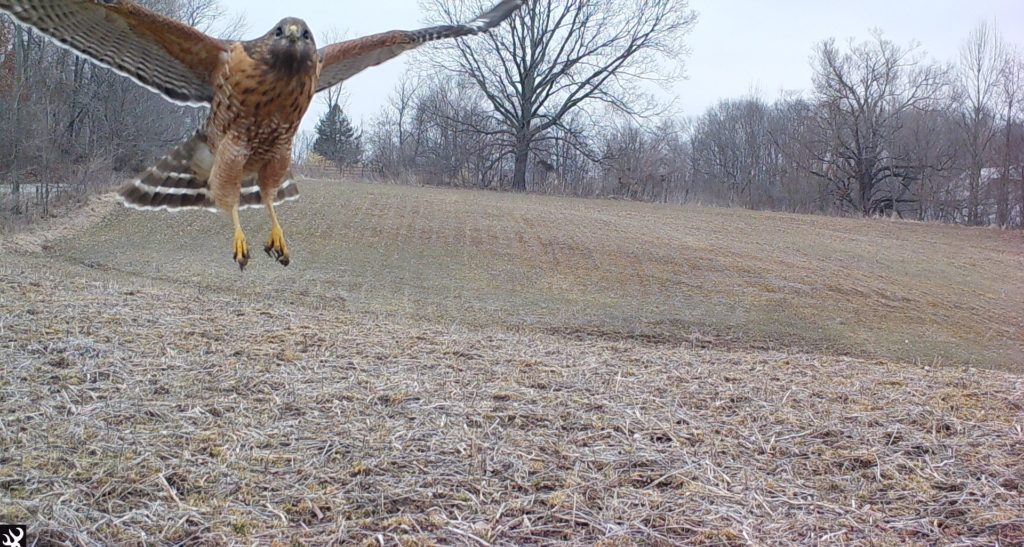 Red Shoulderd Hawk flying
