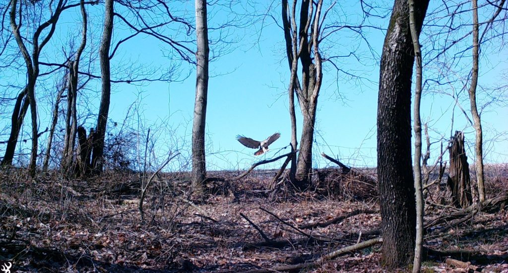 Red shoulder hawk landing
