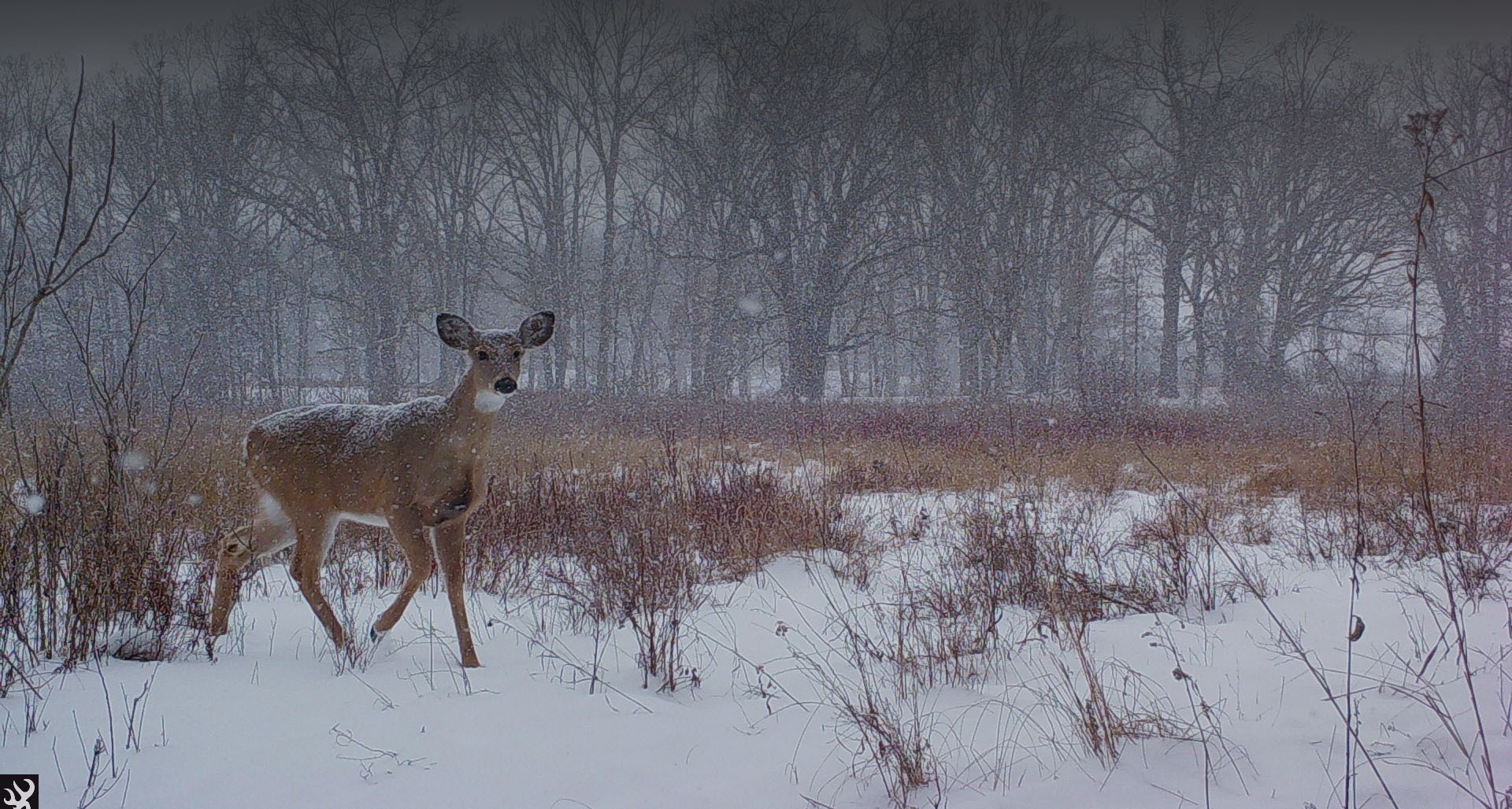 Doe in the snow header