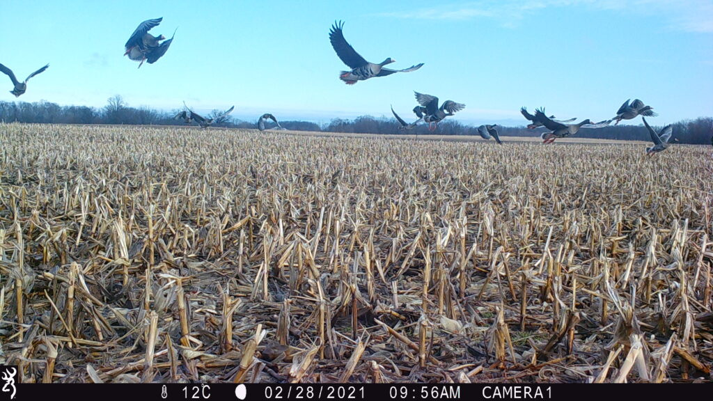 Geese flying over cornfield