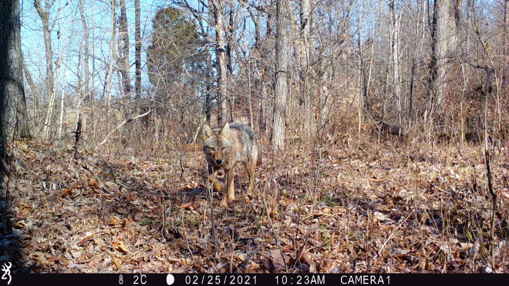 Coyote approaching the camera