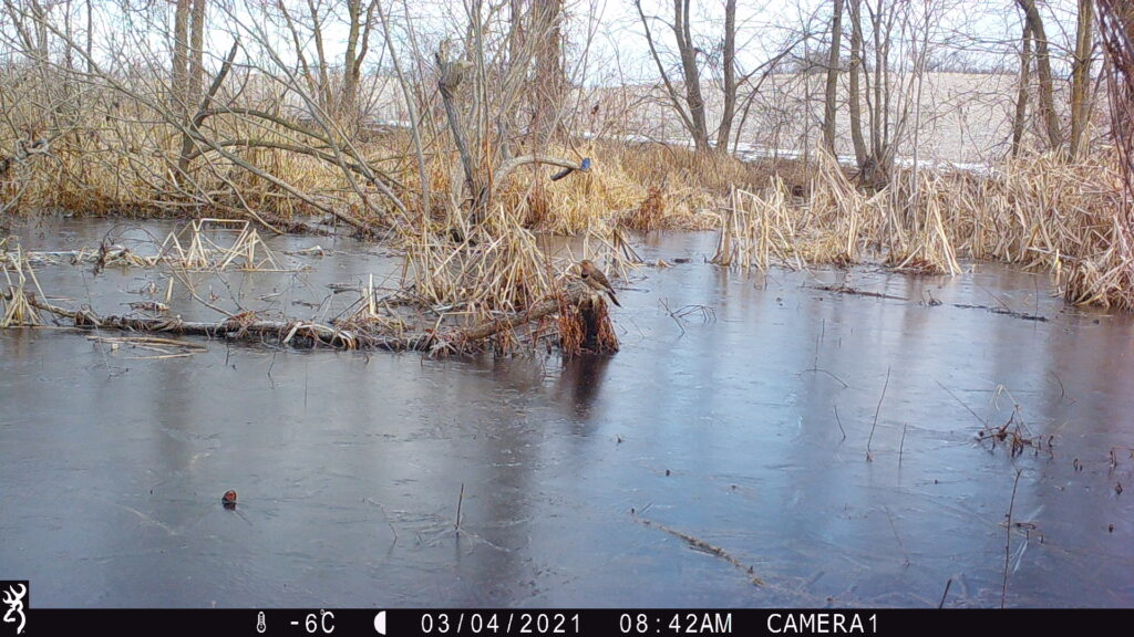Northern flicker in flooded area