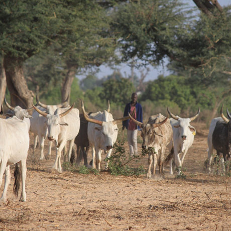 Image for Food safety capacity building in Senegal: Enhancing resilience of the dairy value chain by leveraging public-private partnerships