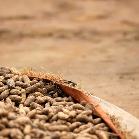 Image for Identifying cost-effective interventions to reduce <em>E. coli</em> and other contamination in Senegalese groundnut production and consumption