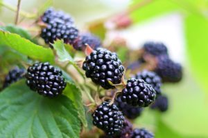 Black berries on a plant