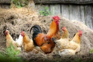 Chickens by the straw