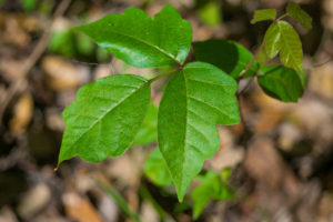 A three-leaf poison ivy plant.