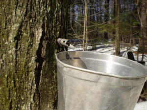 maple syrup being tapped from a maple tree