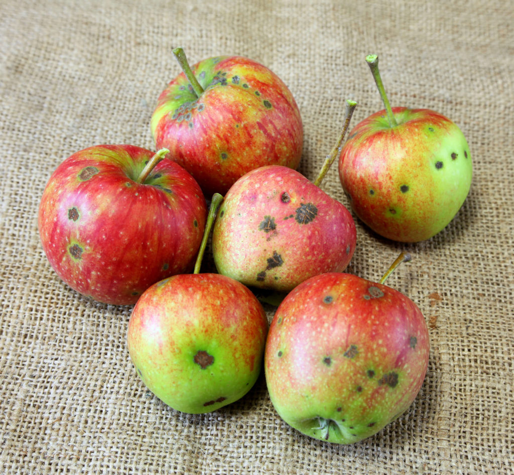 Apple scabs