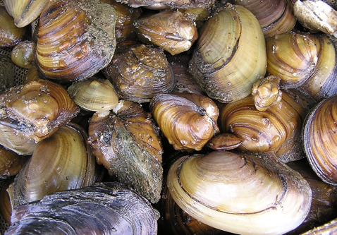 several mussels