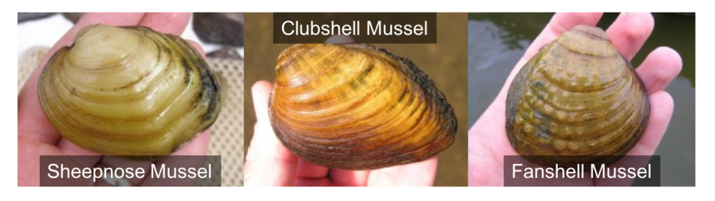 three examples of different mussels