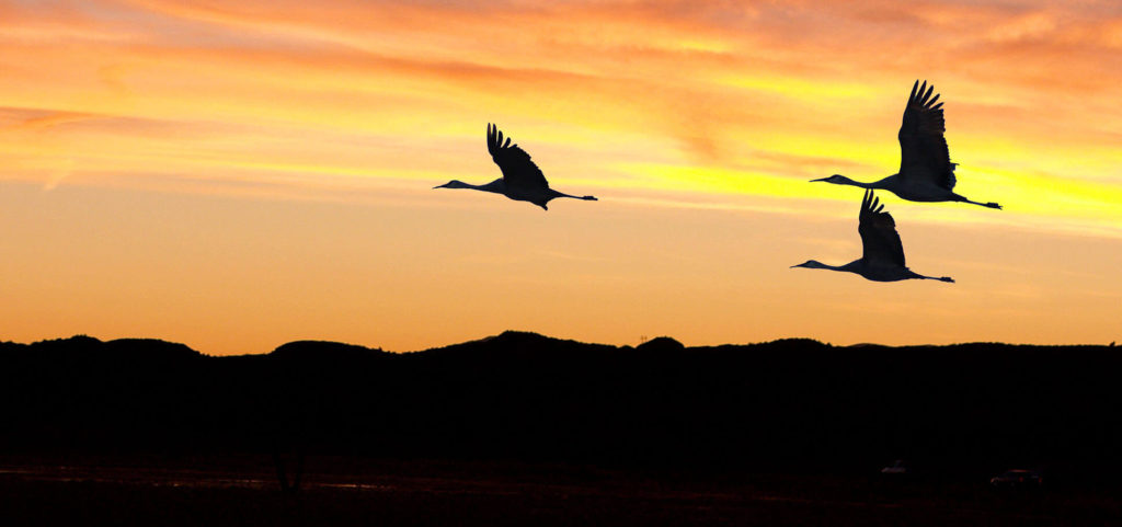 sandhill cranes flying over a body of water during sunset