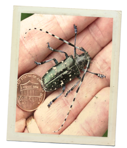 A polaroid style photo of an Asian longhorned beetle. The beetle rests in a human hand. It has a penny next to it. The beetle is about the size of two pennies. The beetle is black with white spots and has antenna longer than its body.