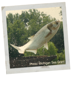 A Polaroid style image of a jumping Asian carp. The fish is silver.