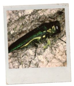 A Polaroid style photo of an emerald ash borer. The emerald ash borer stands on brown bark. The ash borer is bright green and metallic.