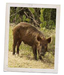 A Polaroid style photo of a feral hog. The hog is standing in a field. The hog is brown with coarse hair.