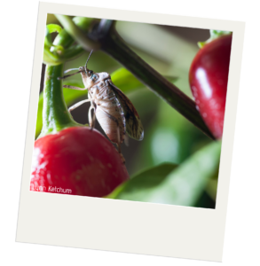 Brown marmorated stink bug feeding on a red pepper plant.