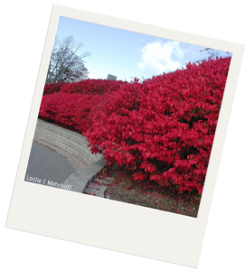 A row of planted burning bushes next to a road. The bushes have bright red leaves.