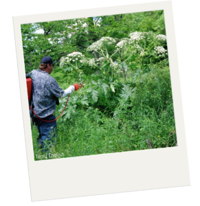 The edge of a forested area. There is a man with a red spraying device that he is using to spray some of the edge plants. One of the plants is taller than the man. It has large leaves and flowers larger than his head. The flowers are made of smaller individual flower clusters much like queen Ann's lace.