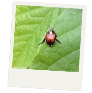 A Japanese beetle resting on a green leaf. The beetle is copper colored with black legs, white tufts on the edge of its body, with a green metallic head.