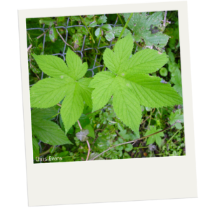 Two leaves are in the center of the image. The leaves are light bright green. They have a similar shape as maple leaves. In the background are more of the same leaves as well as a few other plants.