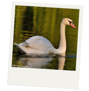 A mute swam swimming on a lake. The swan is white. Its beak is bright orange and is outlined in black. A patch of the black outline connects to the bird's black eyes.