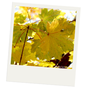 Close up of several maple leaves. The leaves closest to the front of the image are attaches to a thin brown stem. The leaves have red stems and veins. The tissue of the leaves is yellow with brown and green spots. The tissue has holes in it.