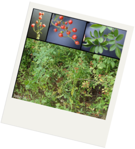 There is a larger image and three smaller images in the top left hand corner. The larger image shows a dense patch of small green plants. One of the plants has thorns and red berries. The first of the smaller images shows brnaching green stems with red berries on top from the side. The second image shows the same type of branching green stem with red berries that have small black circles on top. The final image shows leaves of the plant. The leaves are ovals with points on either end. They are attached opposite to each other on the plant with one single leaf at the end.