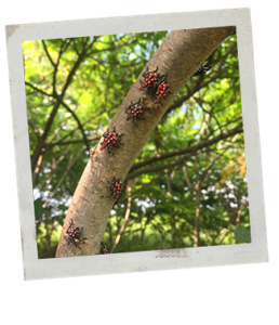 Polaroid picture of spotted lanternfly nymphs on a branch. The lanternfly are bright pinkish red with white and black spots and black legs.
