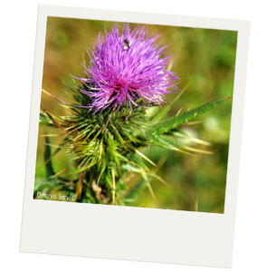 A close up of a thistle plant. The thistle has sharp spikes of green leaves. The flower is a light purple tuft.