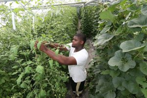 Student working with a plant at the Purdue Student Farm.