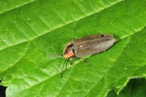 Firefly Leaf