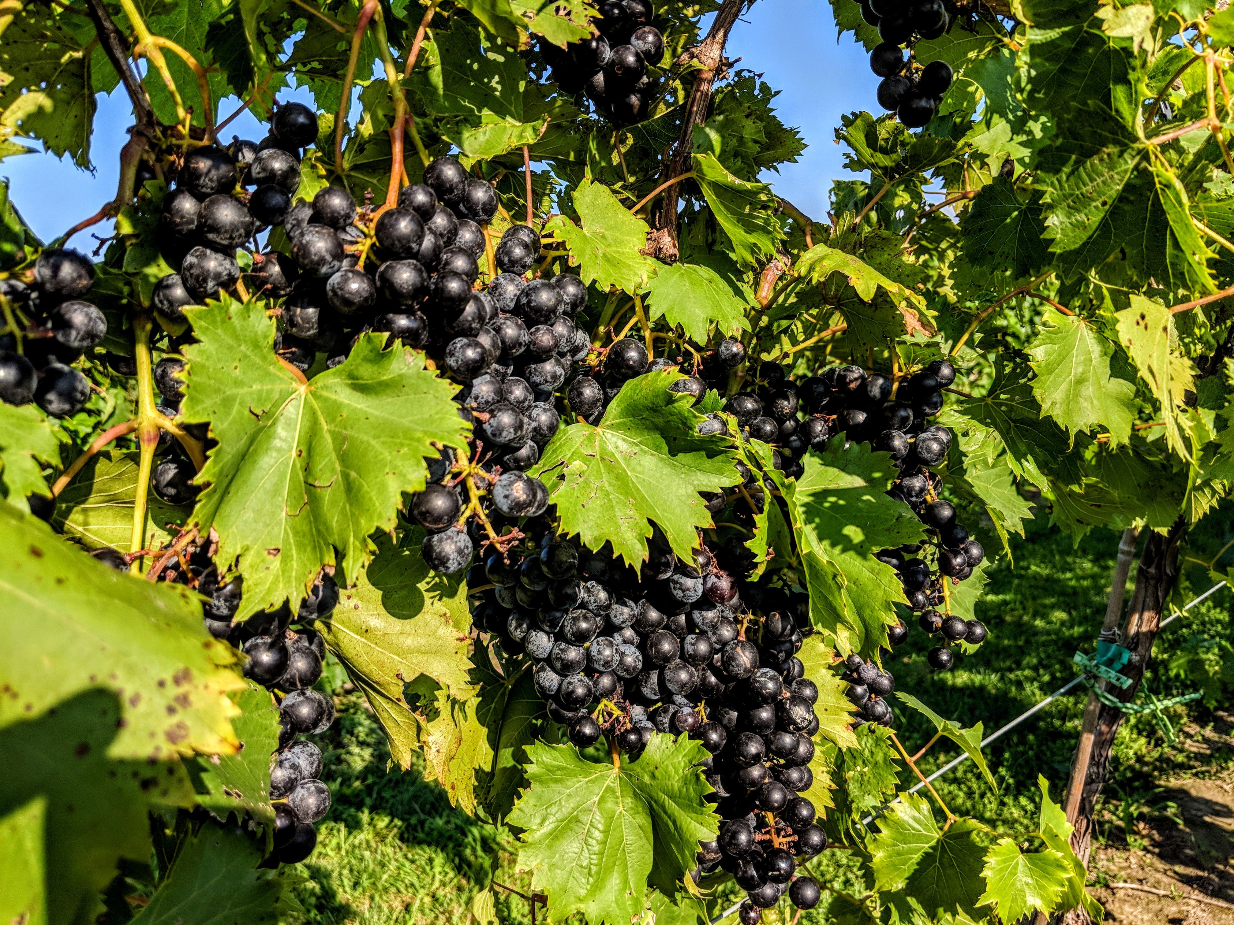 A bunch of grapes at the Meigs Farms