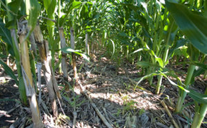 A cornfield that has not been plowed.